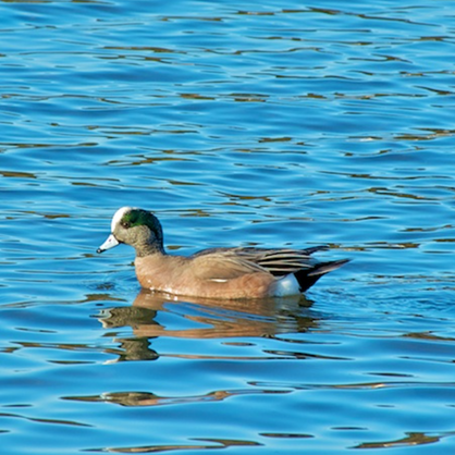 American Widgeon (male) in Ryders Cove