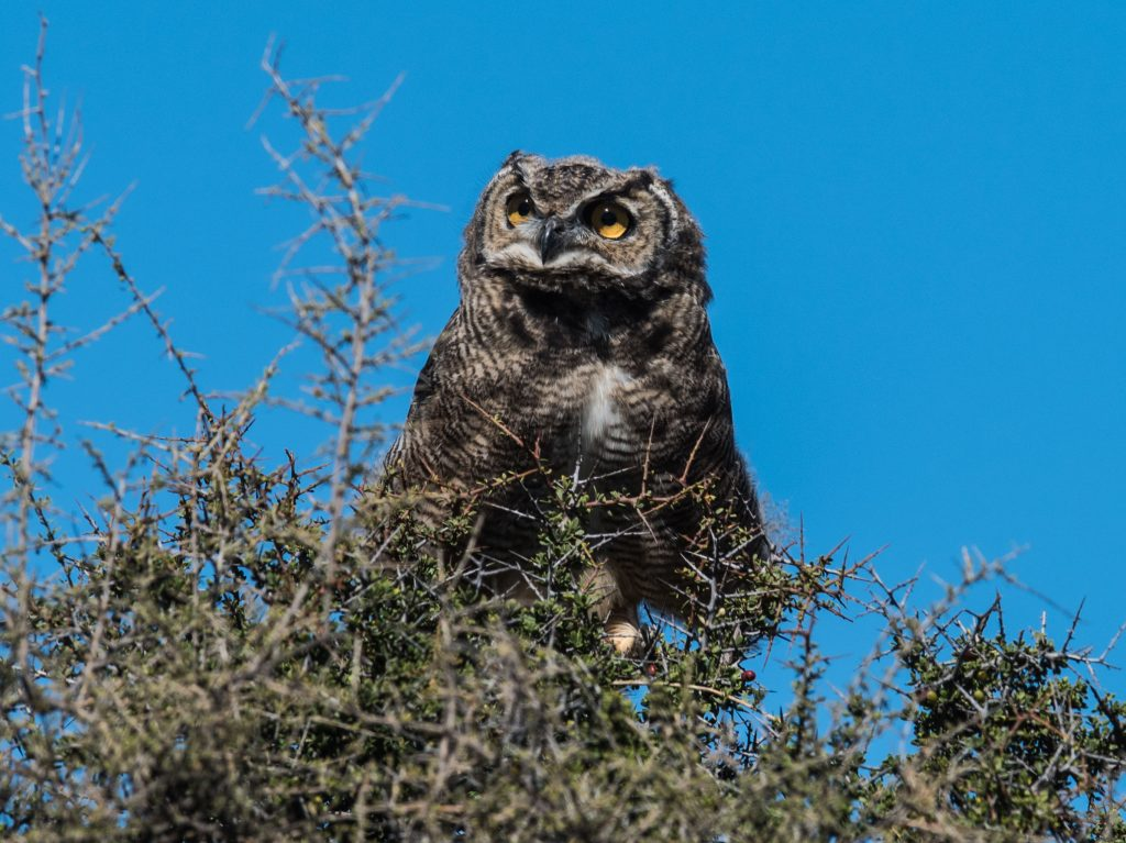 Patagonian Great horned Owl - this one had two recently fledged chicks she was overseeing