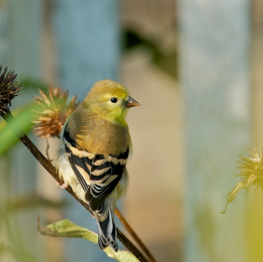Goldfinch hangs out