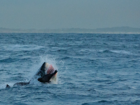 Wild Times with White Sharks