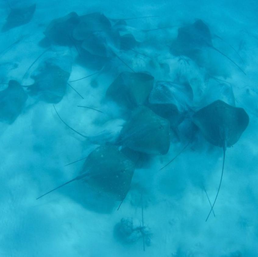 Rare gathering of 40 large Sting Rays - Aldabra Lagoon