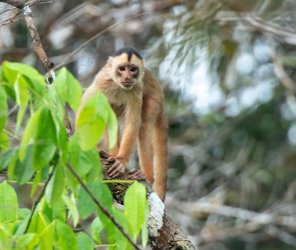 White fronted Capuchin Monkey