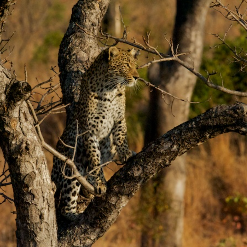This beautiful female leopard was treed by the Wild Dog pack