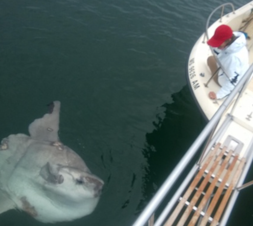 A curious mola mola spotted near the North Chatham inlet