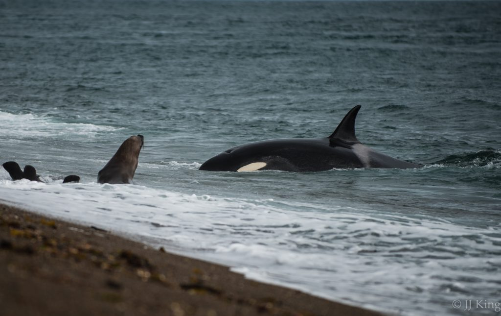 First orca sighting. Annually for the past few decades a pod of orcas arrives along a remote coast line to strand themselves in an effort to snatch the young sea lion pups just as they learn to swim. - Punta Norte, Valdez Peninsula, Argentina (March 2016)