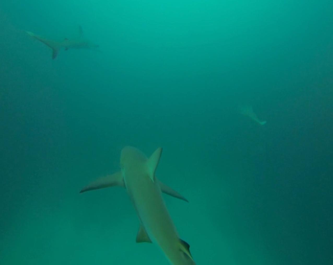 Free diving with Black tip sharks, Galapagos Islands, Ecuador