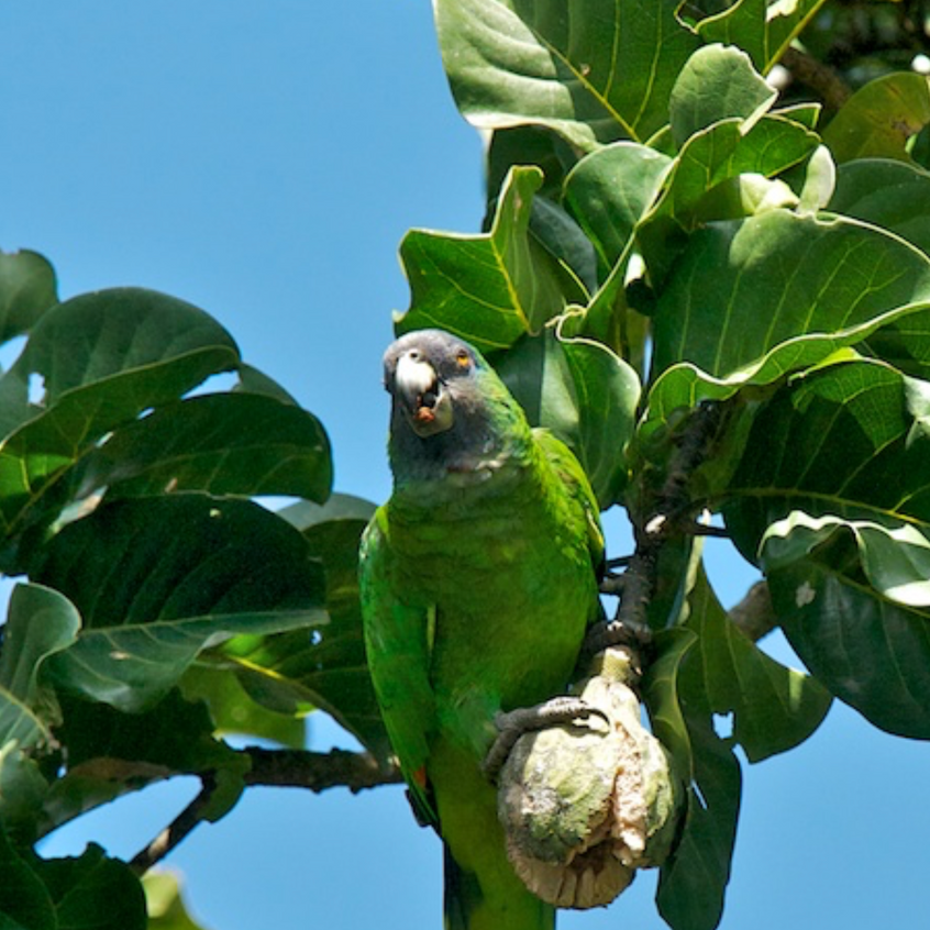 Red - Necked Parrot (Critically Endangered and endemic to Dominica)