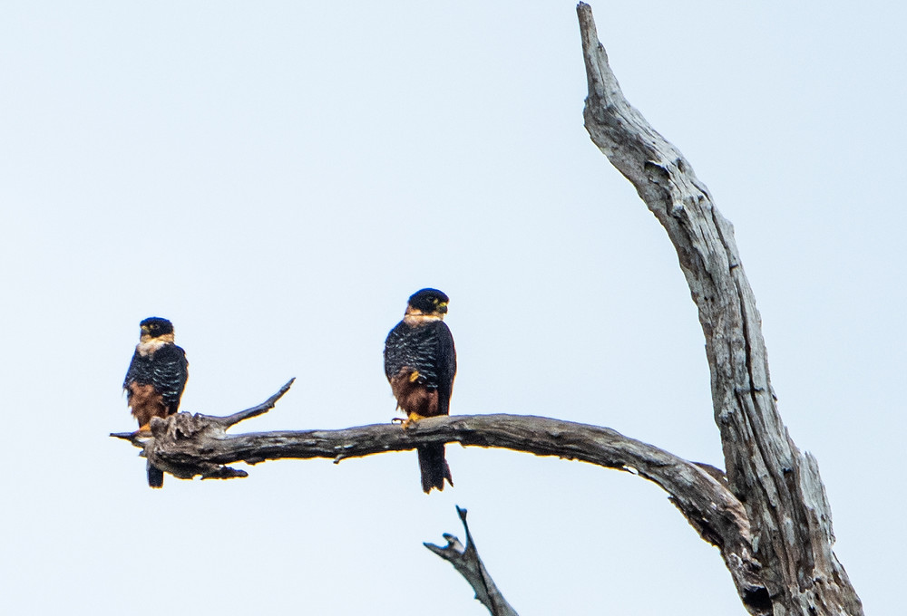 Bat Falcon pair
