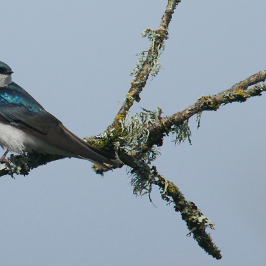 Tree Swallows were in abundance on their way north to breed