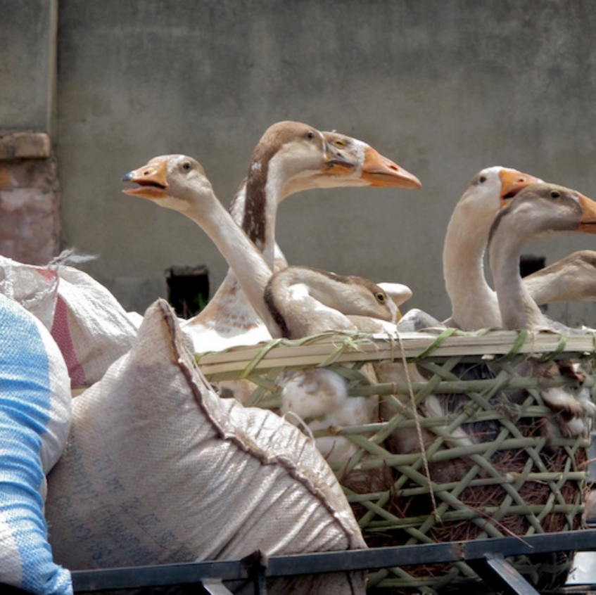 Geese to market