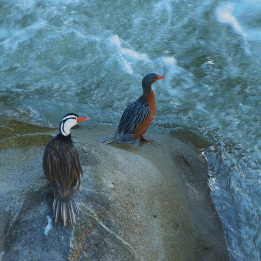 Torrent Ducks look over the Urubamba River