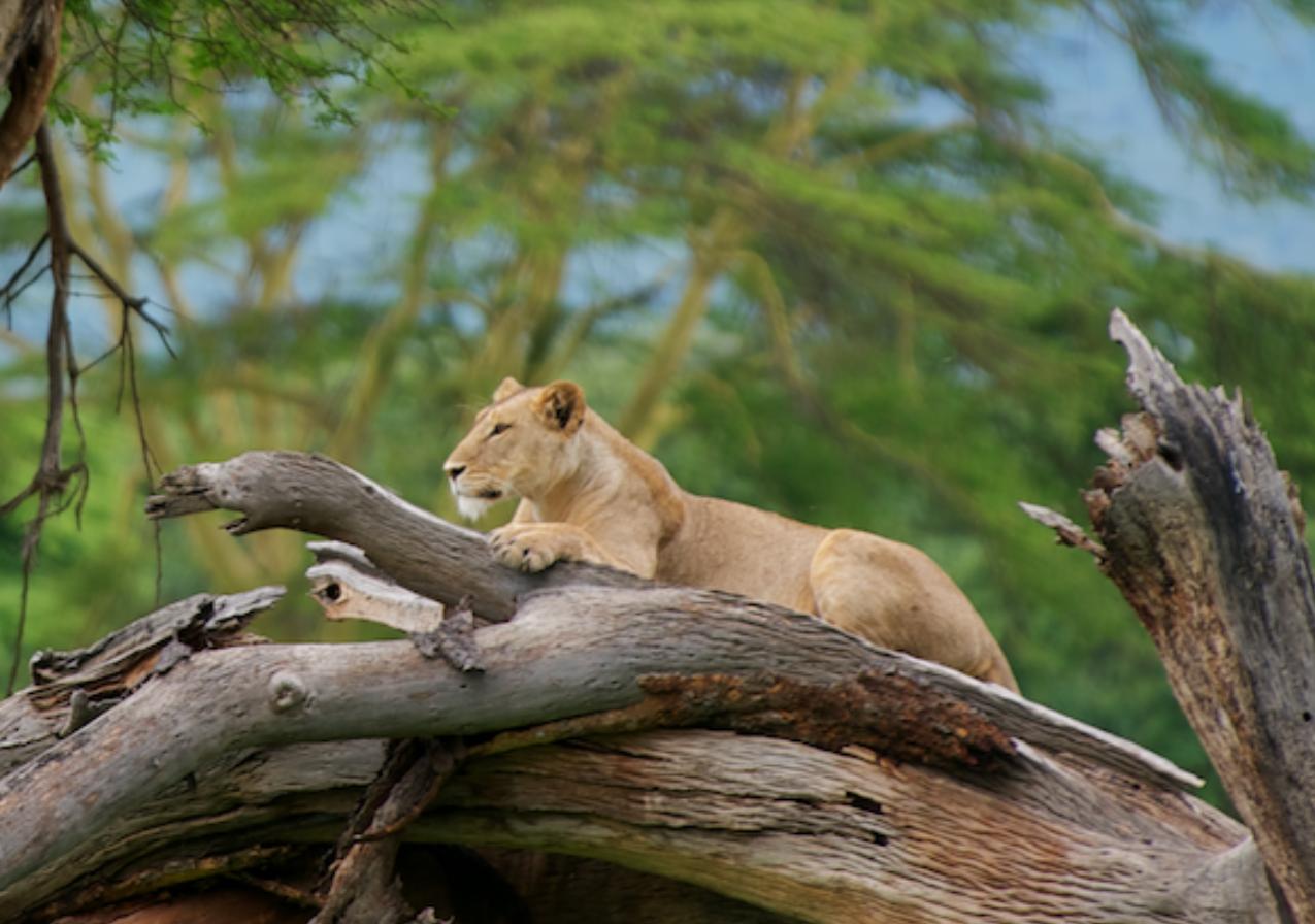 Lioness at Lewa