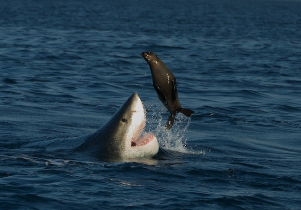 Shark with seal -Seal Island, South Africa