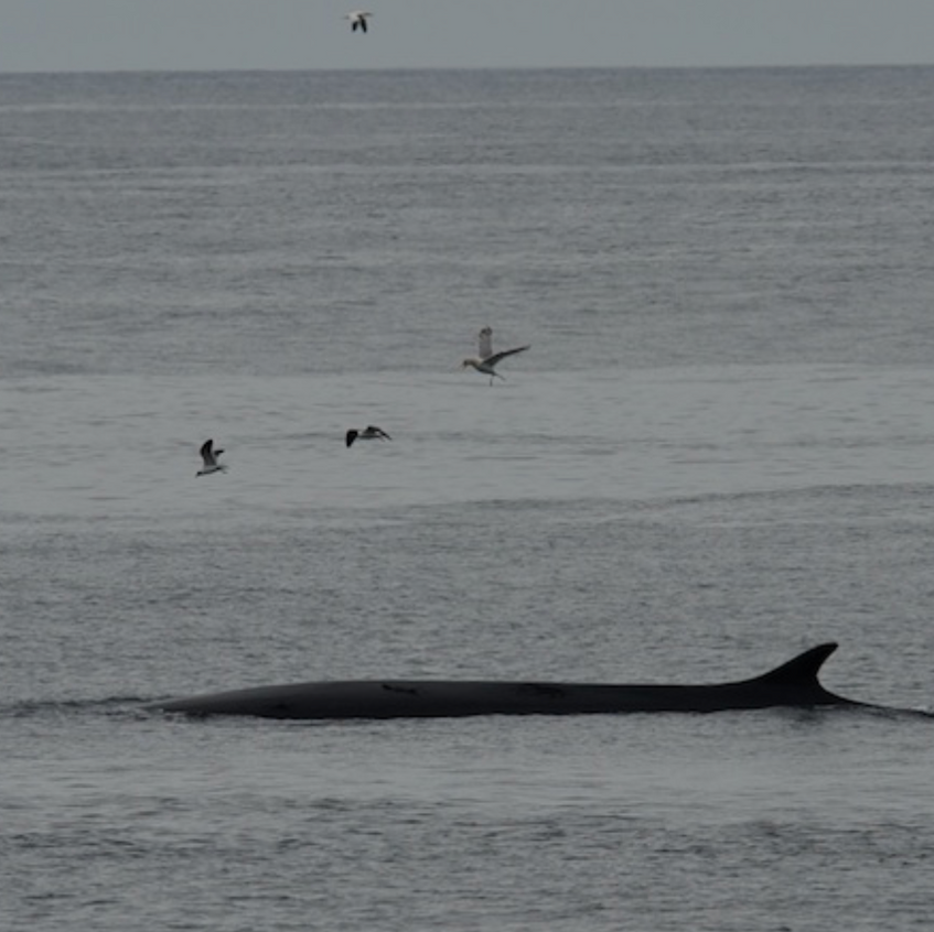 Fin whale passing Race Point