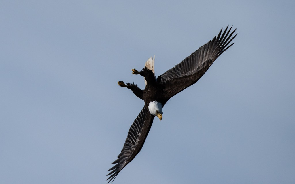 Eagle in a power dive maneuver rigged for speed!