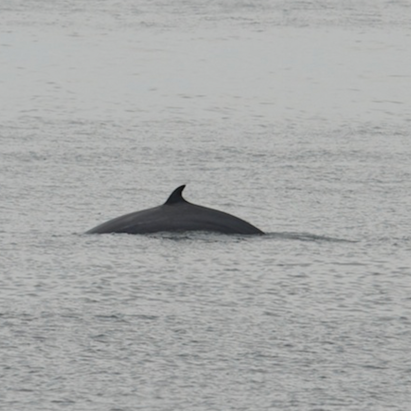 Minke Whale feeding off Race Point