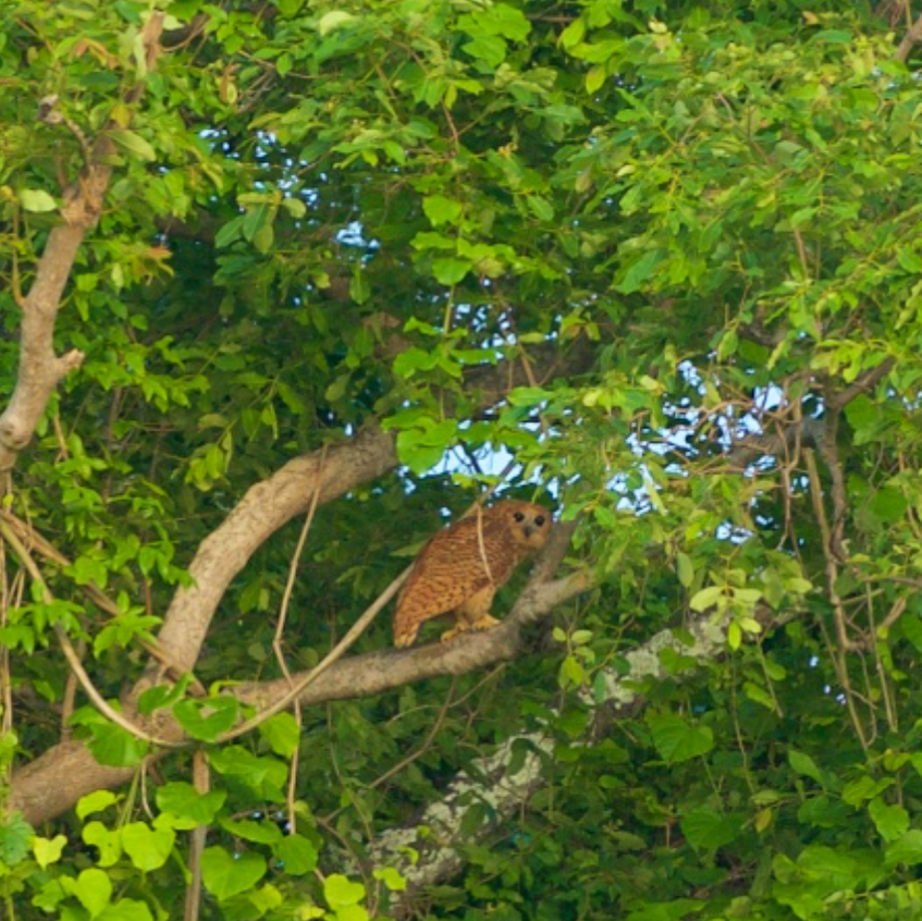 Very rare sighting of Pels Fishing Owl!