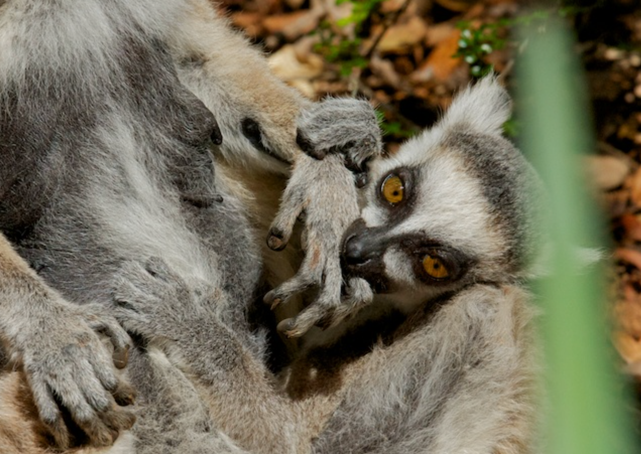 Ring-tailed Lemur baby and mother