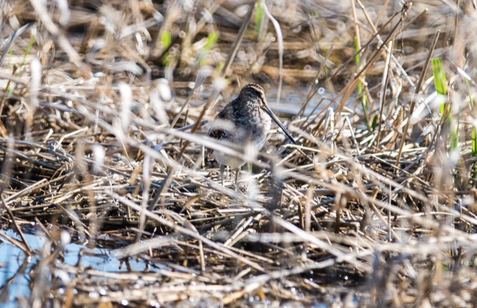 Common snipe - (very shy and hard to see :))