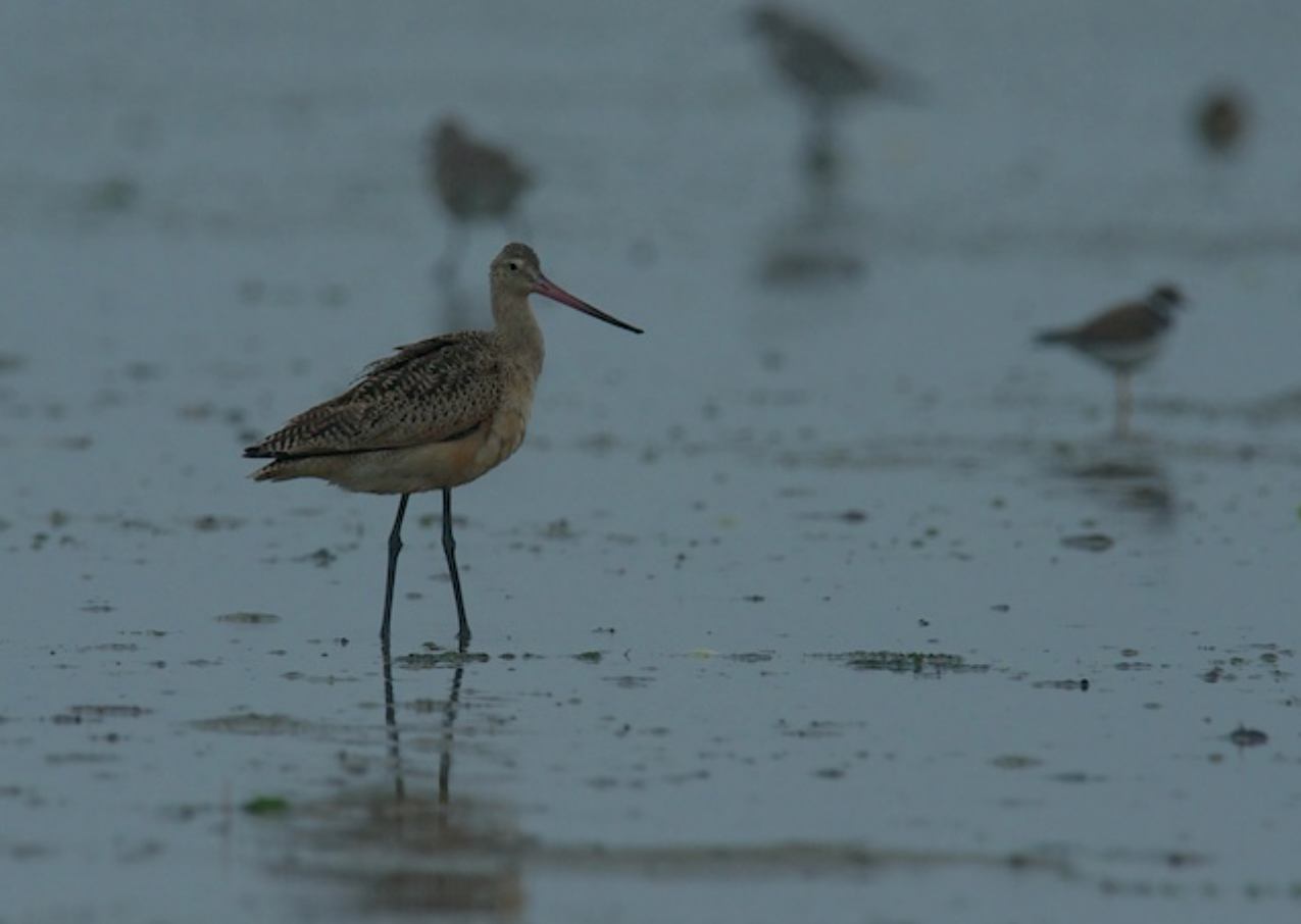 Marbled Godwit in Chatham
