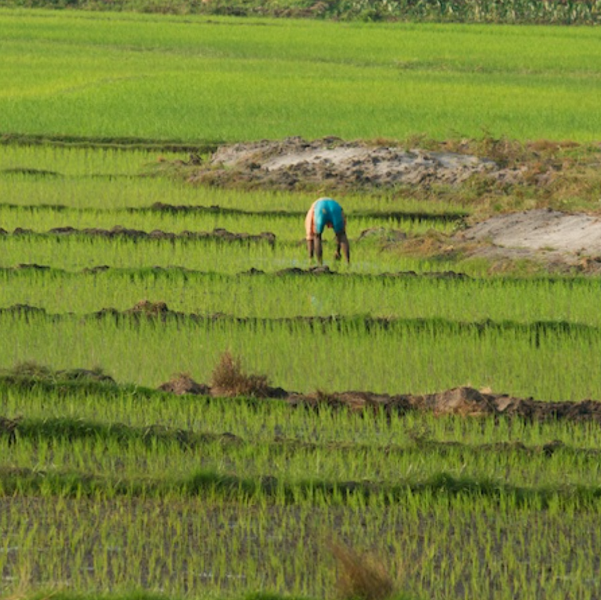 Rice Fields are cultivated everywhere possible