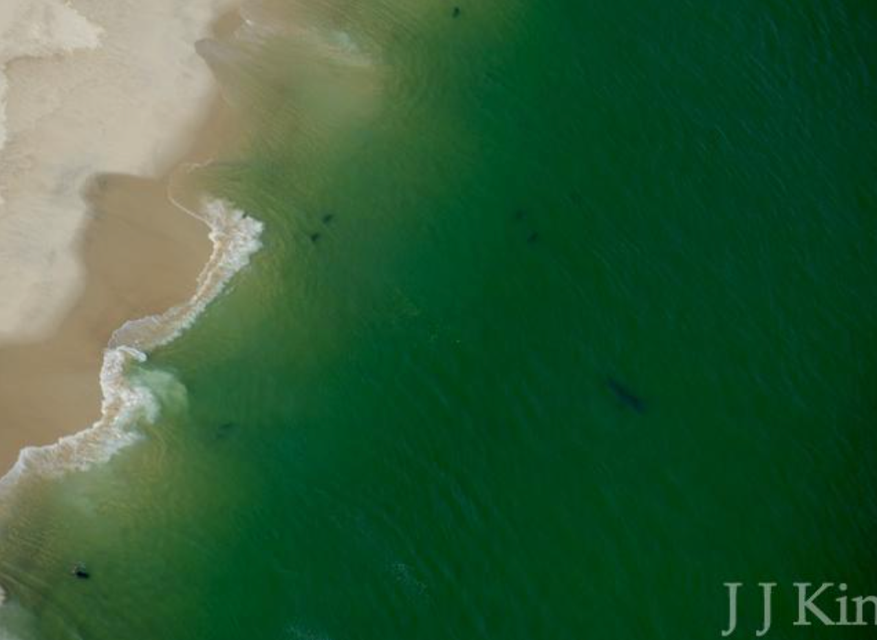 White shark moves off shore into deep water