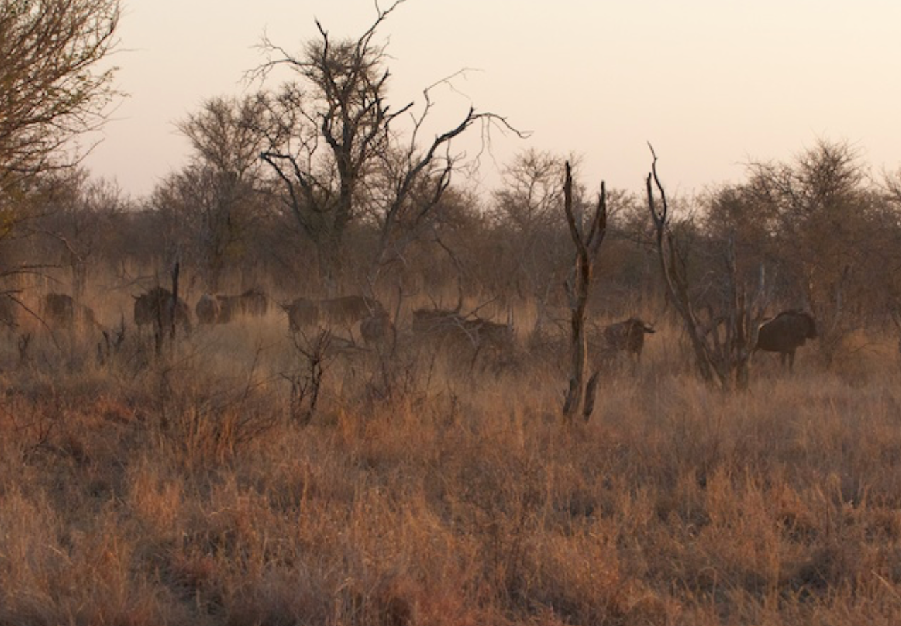 Blue Wildebeest herd gets moving in the early morning