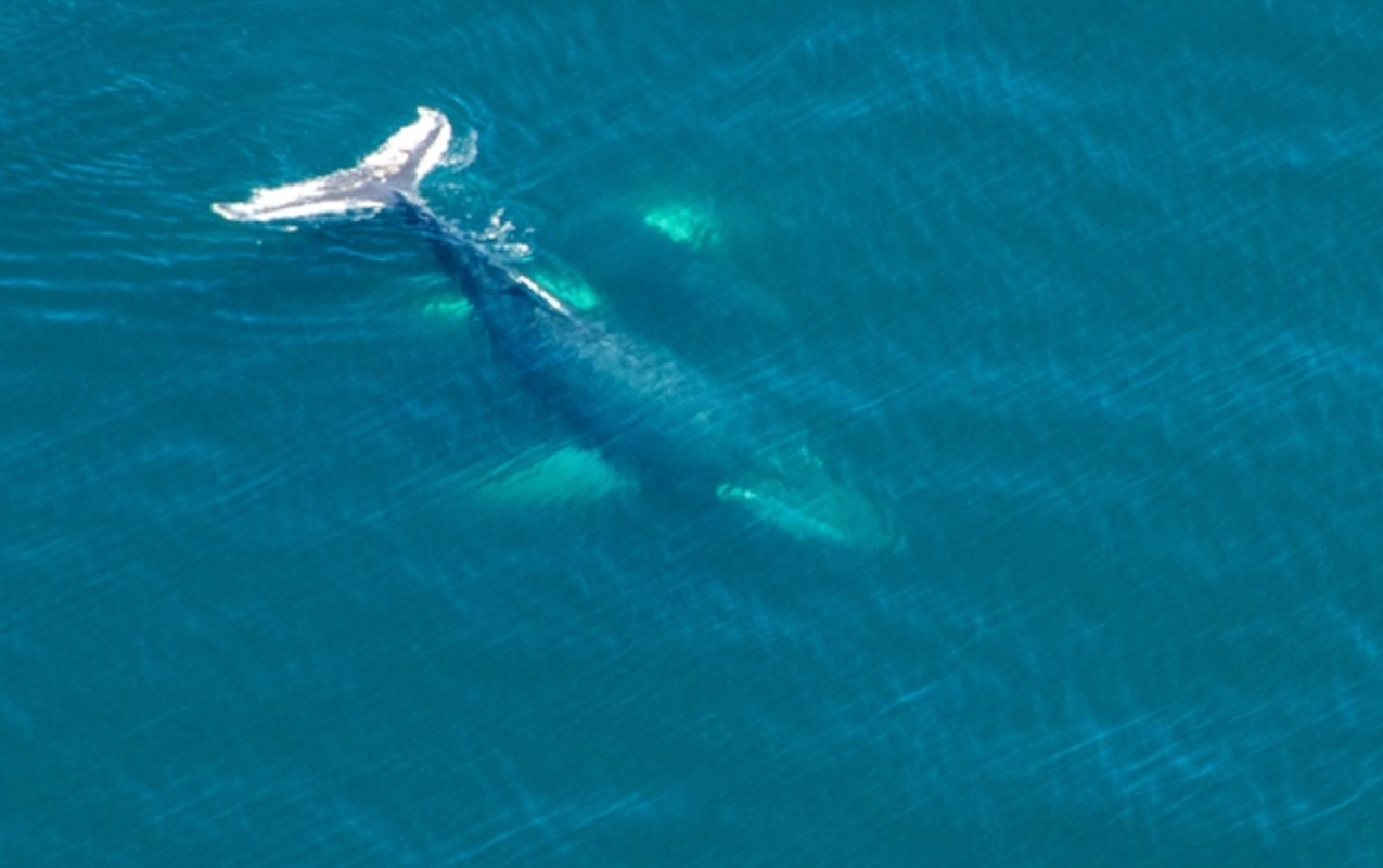 This whale is known as Ventisca, with her 2011 calf