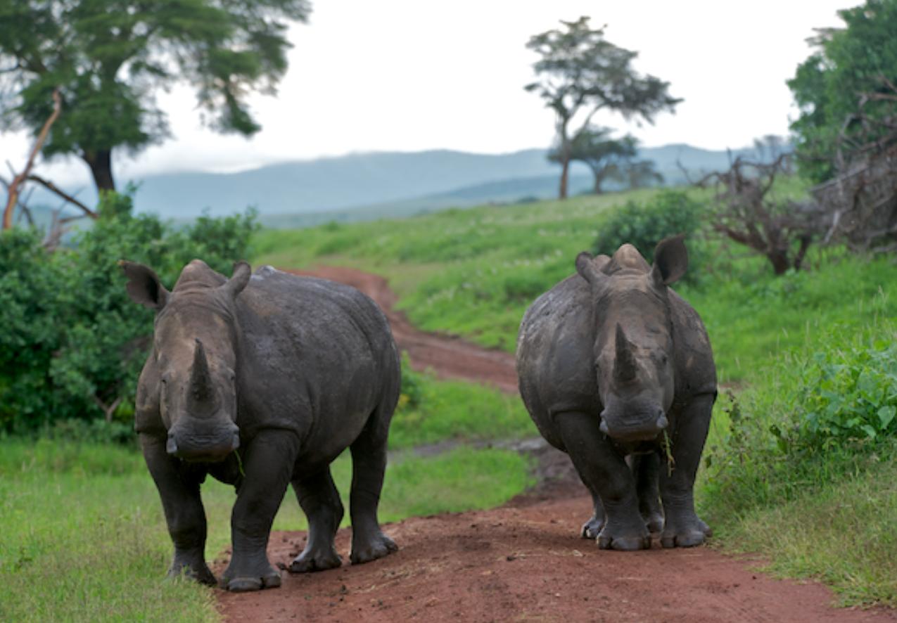 Rhinos block the path!