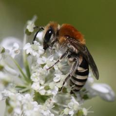 Efeu-Seidenbiene (Colletes hederae)