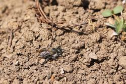 Männchen von Osmia aurulenta