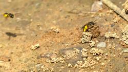 Erdnistende Wildbienen