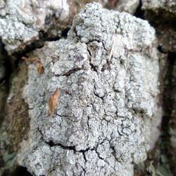 Pertusaria albescens auf Eiche