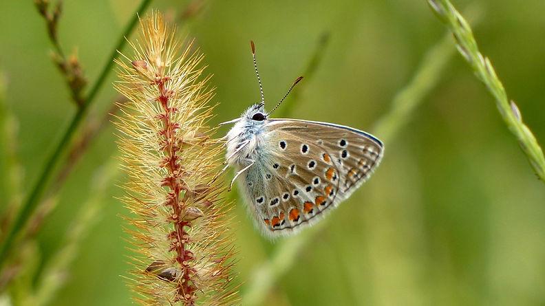 Verschiedenen Schmetterlingen, hier einem kleinen Bläuling (vermutlich ein Hauhechel-Bläulingsweibch