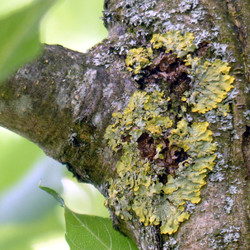 Xanthoria parietina auf Esche