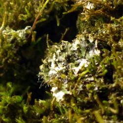 Phaeophyscia orbicularis auf Esche