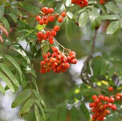 Eberesche (Sorbus aucuparia)