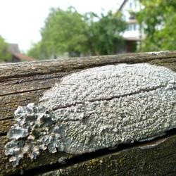 Pertusaria albescens auf Zaun
