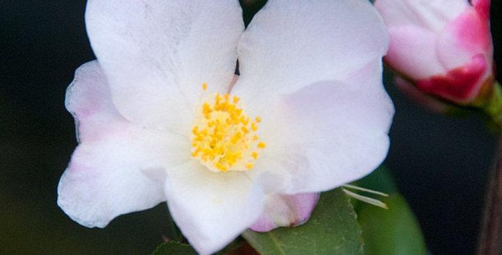 Camellia hybrid 'Fairy Blush'