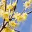 Thumbnail: Chimonanthus praecox