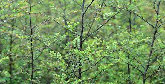 Fuscospora solandri (Black Beech)