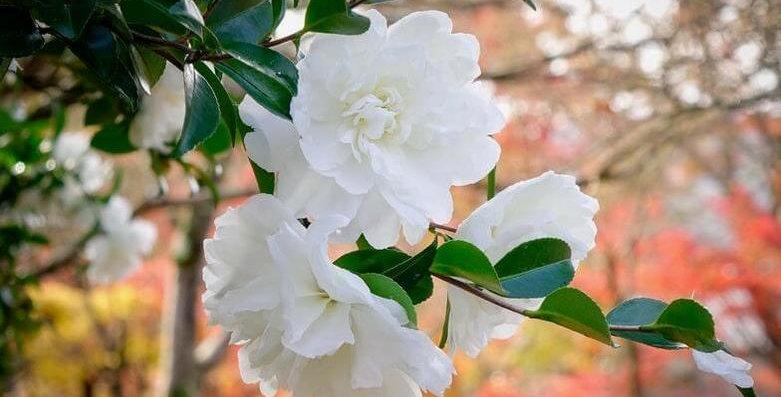 Camellia sasanqua 'Mine No Yuki'