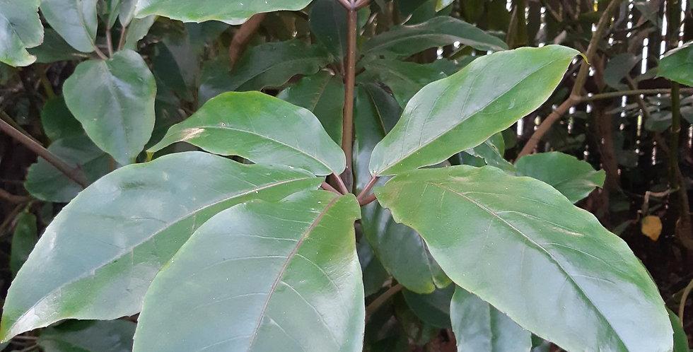 Pseudopanax Arboreus