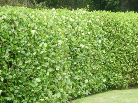 Hedge Planting Tip