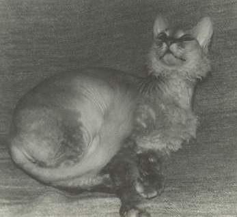 Донской сфинкс. «Аборигенные кошки России»