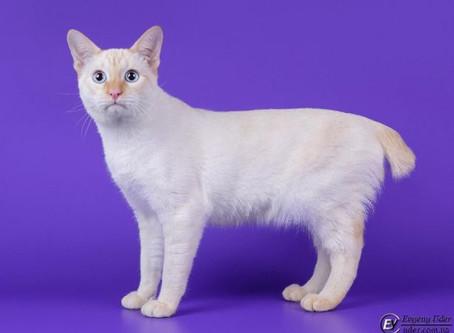 Меконгский (Тайский)бобтейль. «Аборигенные кошки России»