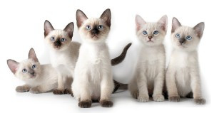Тайские или старосиамские кошки «Аборигенные кошки России»