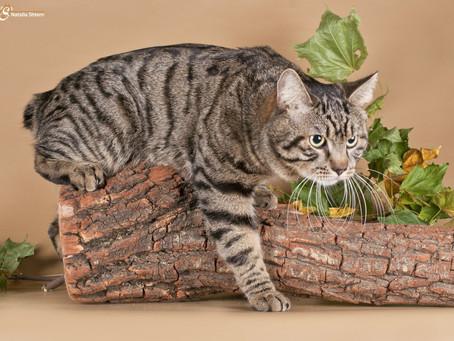 Курильские бобтейли. «Аборигенные кошки России»