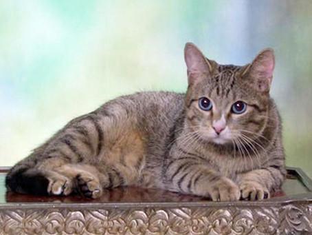 Алтайская голубоглазая. «Аборигенные кошки России»