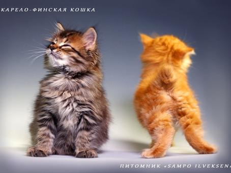 Карельские бобтейли. «Аборигенные кошки России»